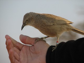The Arabian Babbler