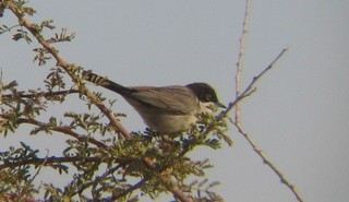 The Arabian Warbler