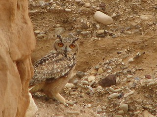 The Pharaoh Eagle-Owl